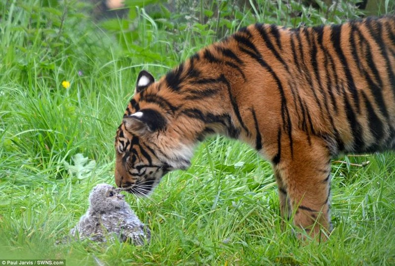 Попавший в клетку к тигру совёнок сразился с хищником