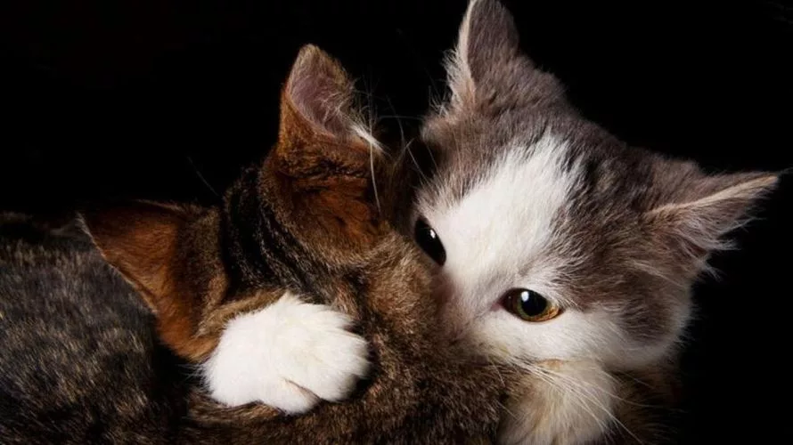картинки котики обнимающиеся являются сырьем