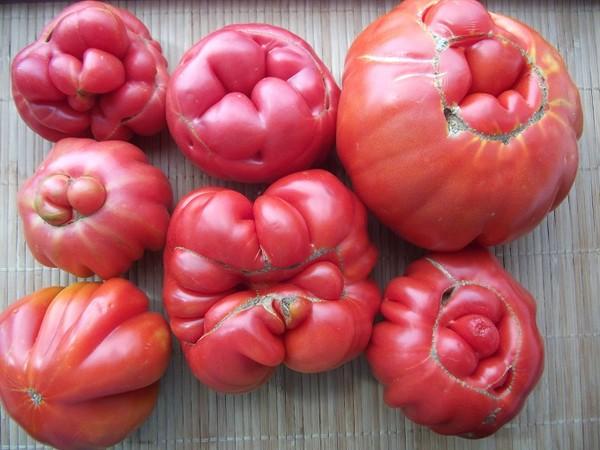 Деформация плодов: кто рисует мордочки на томатах