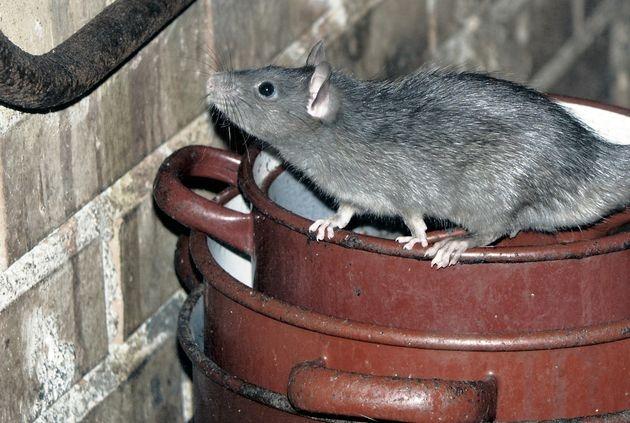 Перед выездом на дачу: как предотвратить «мышиные болезни» у человека