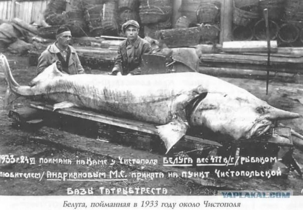 Куда делась самая большая речная рыба - Белуга длиной в 4 метра?