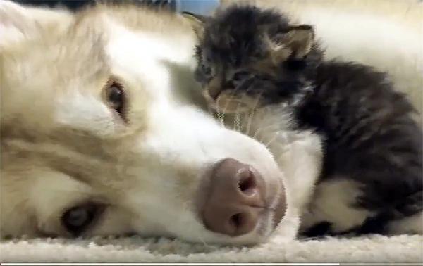 Хаски стала мамой для спасенного котенка