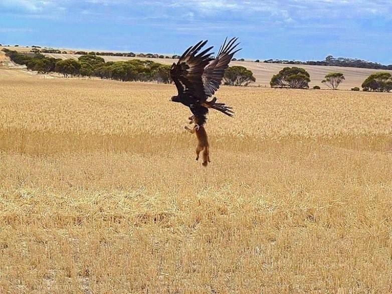 8. Орел vs. Лисенок животные, природа, ужас