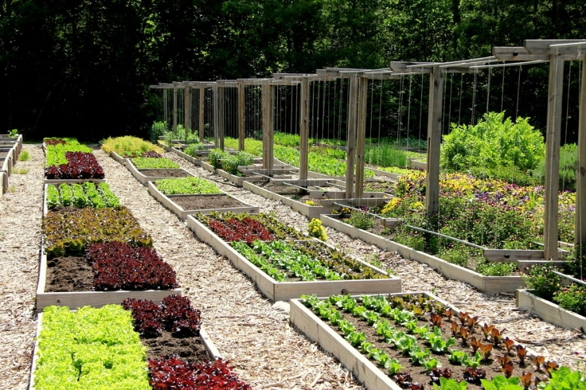 Широкие тропинки и оптимального размера грядки позволят не наступать на грунт при работе с растениями