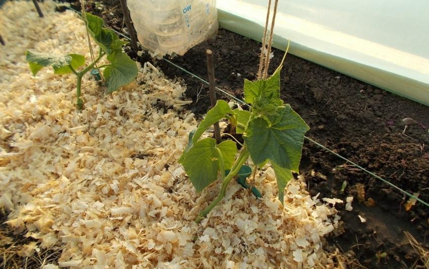 На утепленные грядки огурцы можно высаживать раньше, чем на открытом грунте