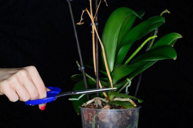Что делать, если не цветет орхидея? Супер-простой способ который заставит ее быстро цвести!