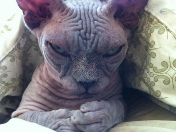 3. Кот-сатана животные, злость, милота
