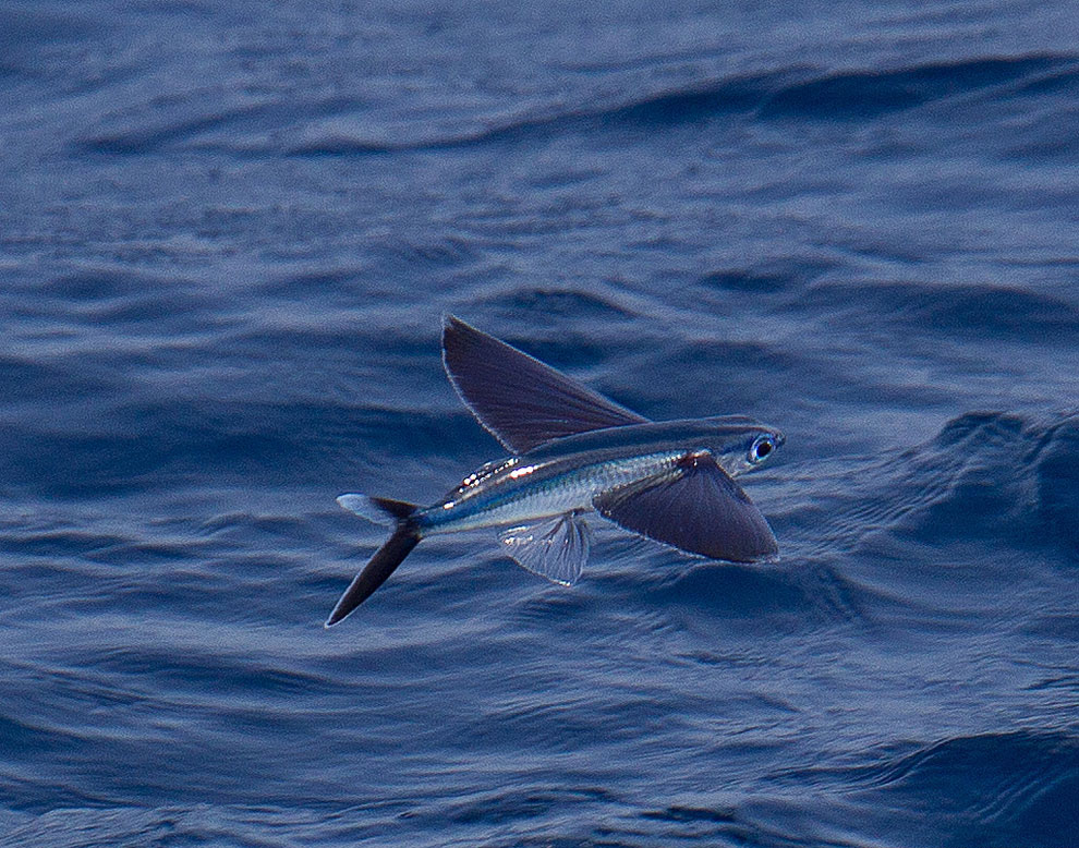 Фото летающий рыбы