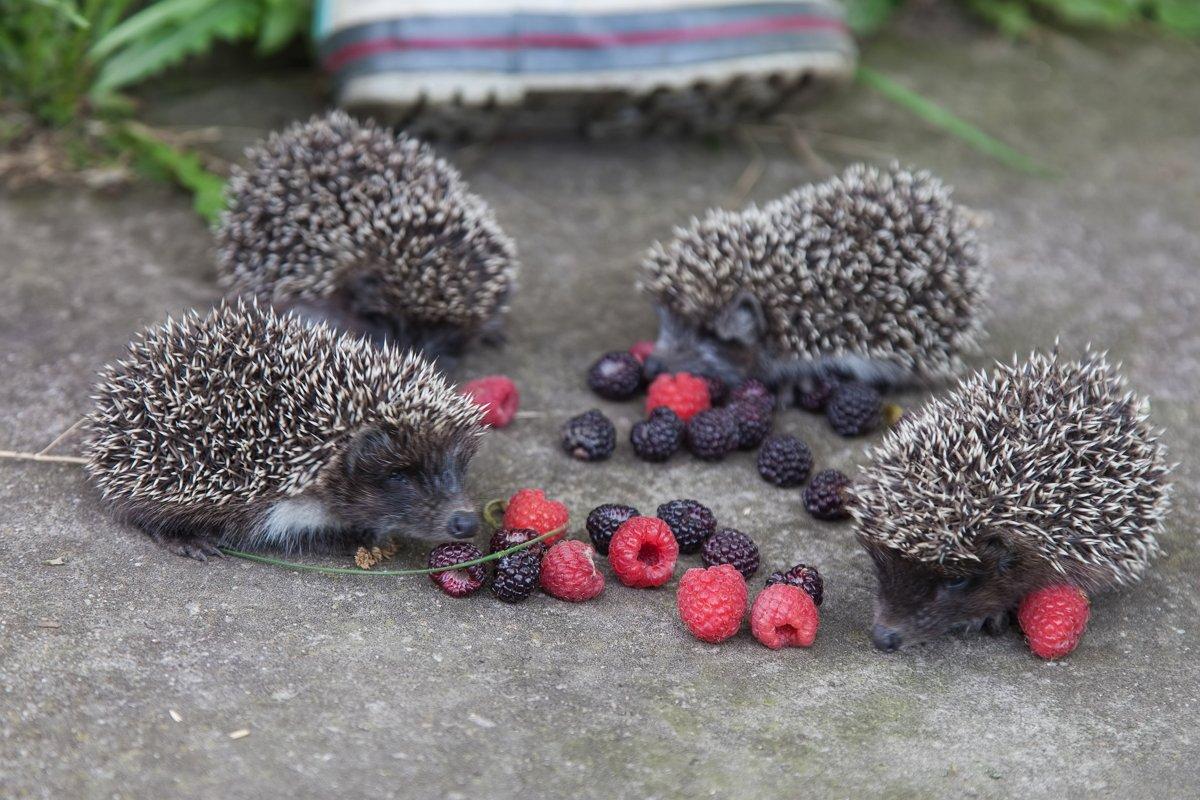 картинка ежик с ягодками носовые
