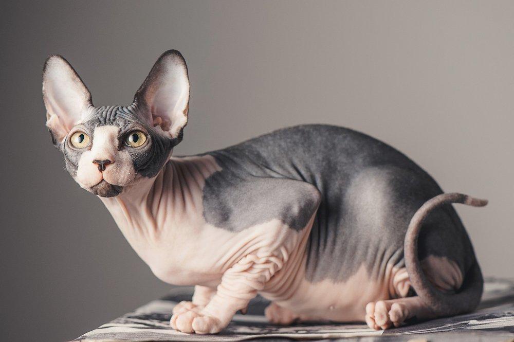 лысые коты картинки говорил человек