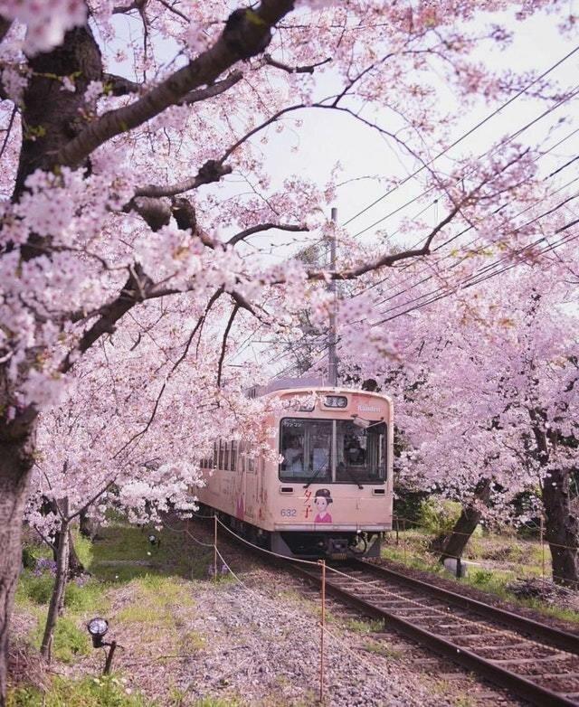 7. В сезон цветения сакуры на каждом шагу можно встретить подобные пейзажи Их нравы, интересно, традиции, фото, япония
