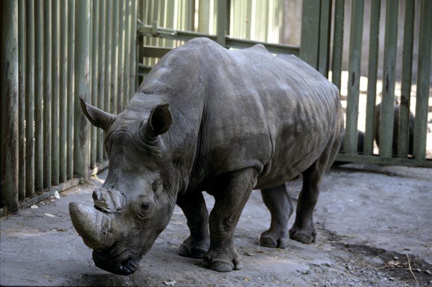 Ученые: 3D-принтеры спасут носорогов
