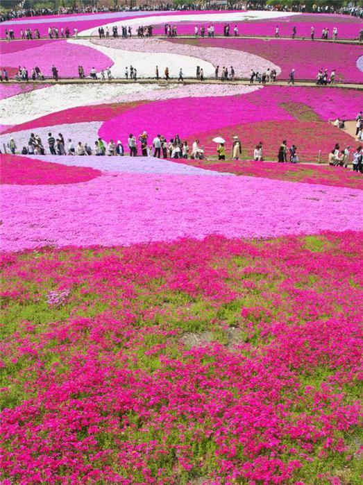 Поля шиловидных флоксов, Hitsujiyama park, Chichibu, Япония