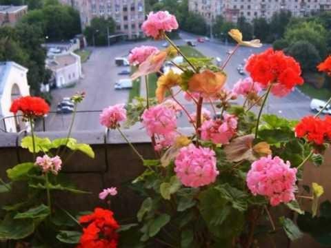 Пеларгония (герань) днем. Мой балкон 2010