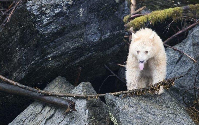 Редчайший кермодский медведь показал язык фотографу