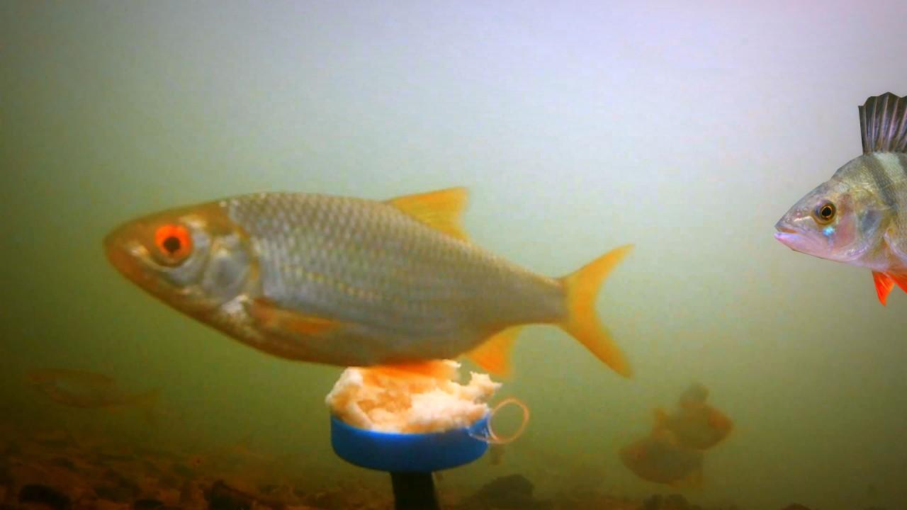 МАСТЫРКА. Подводная съемка + Рыбалка на куриную печень