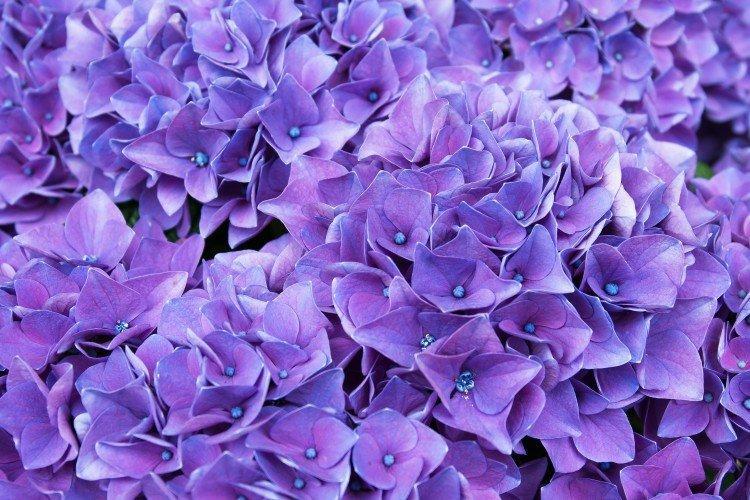 Фиолетовые цветы: названия, фото и описания