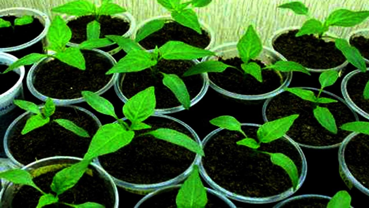 Как высевать перец на рассаду. Подробнее смотрите здесь