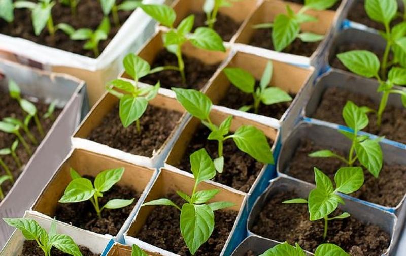 Особенности выращивания рассады перцев и баклажанов