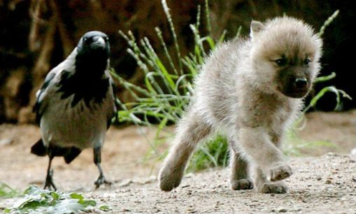 Ворона собаку уносит