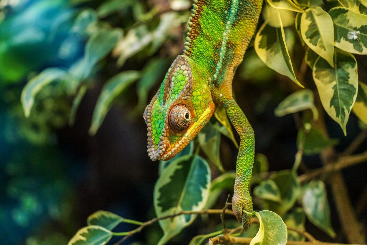 Экзотика в доме: как ухаживать за хамелеоном? Картинка с сайта https://pixabay.com/