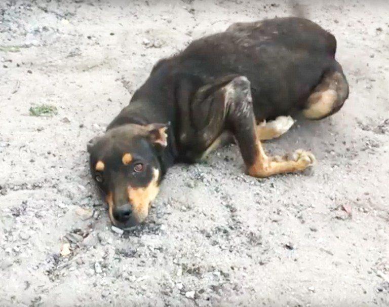 Лапы, пса по имени Спидди, попросту отказали. Из-за запущенной болезни бедняга потерял способность нормально двигаться