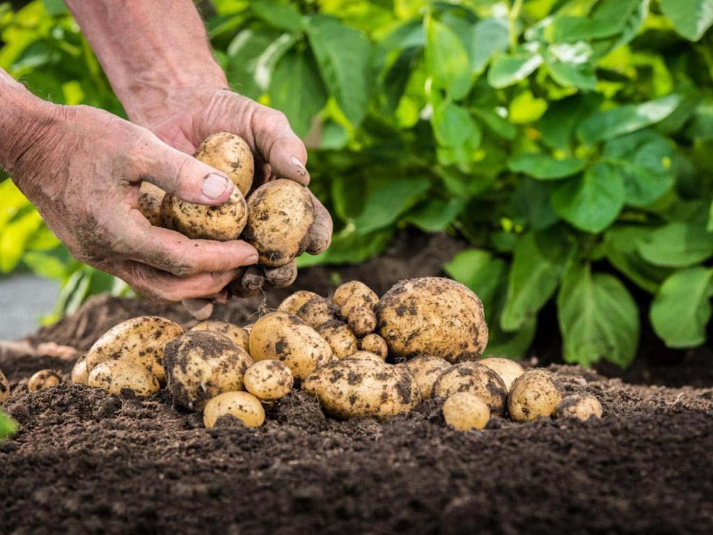 Четыре правила качественной подготовки картофеля к весенней посадке