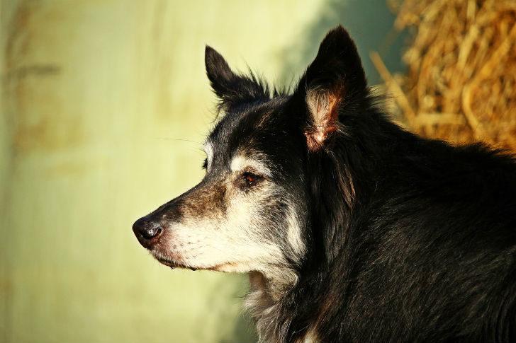 Старая, покалеченная собака в критической ситуации проявила себя лучше служебных овчарок