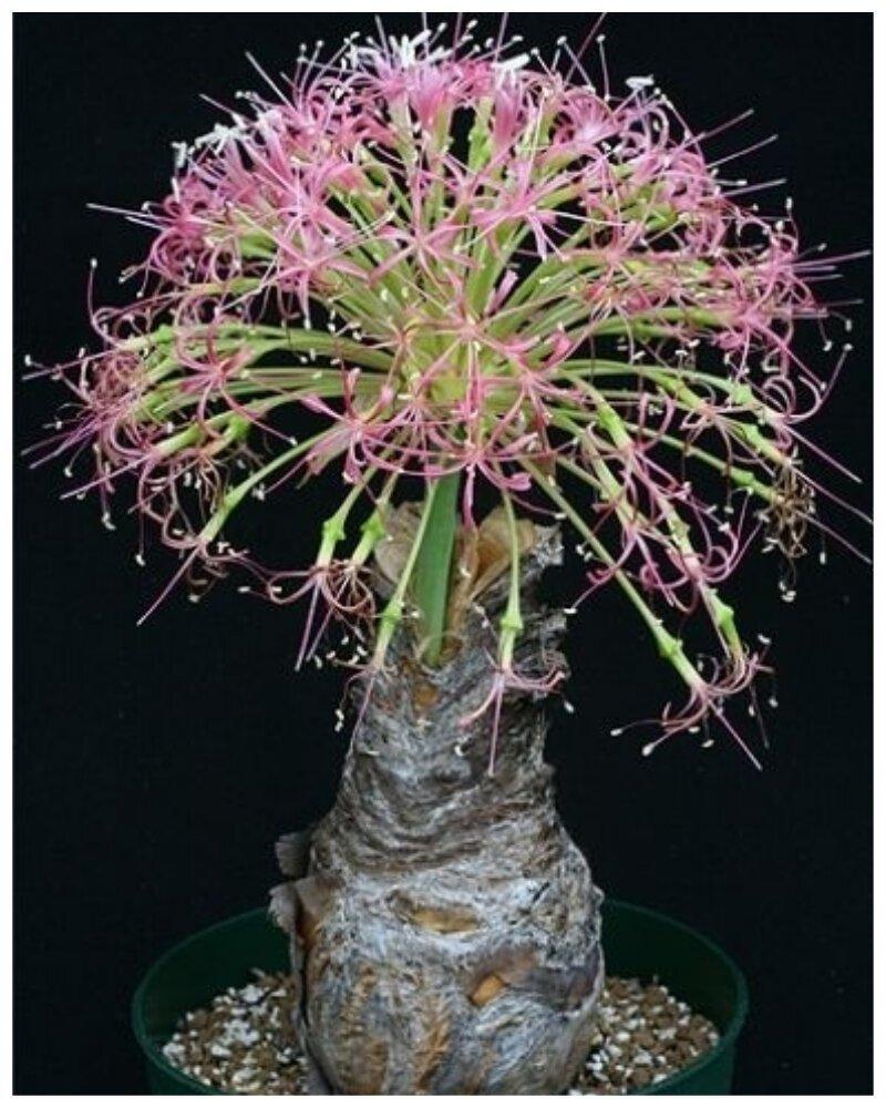 """Graptopetalum pachyphyllum Bluebean """"голые"""", интересное, красота, природа, растения, факты"""
