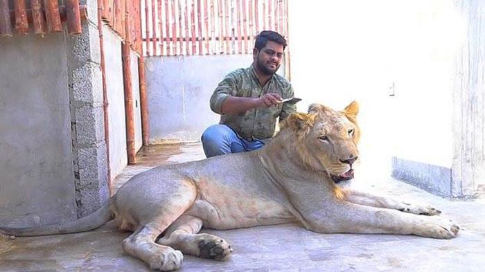 Два брата из Пакистана завели льва по имени Симба