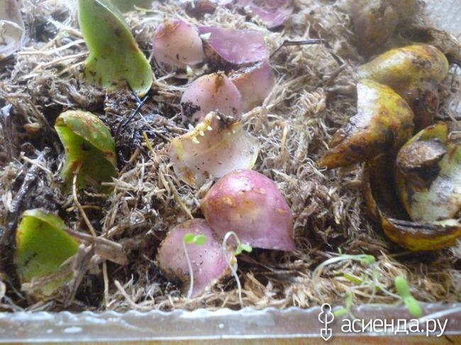 Выращивание лилий из чешуек... сделала открытие для себя.