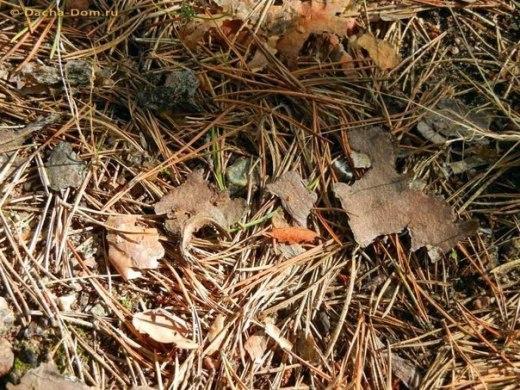 Сосновые иголки в борьбе с вредителями