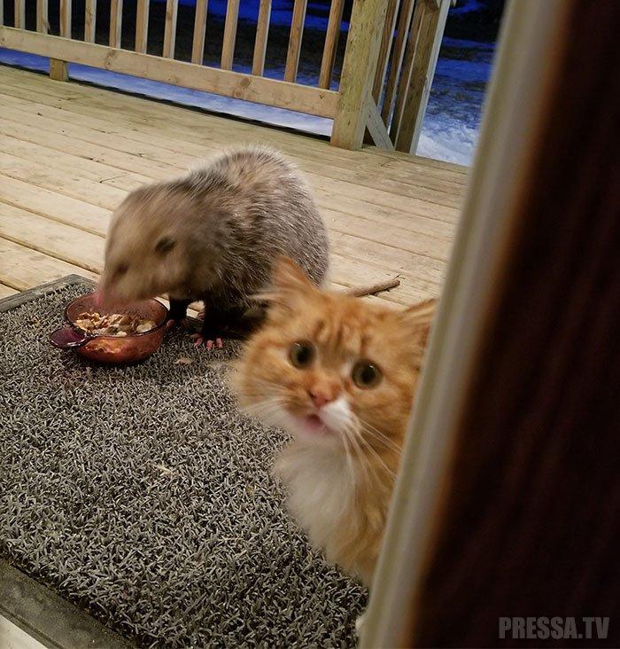 Реакция кота на опоссума, уплетающего его еду