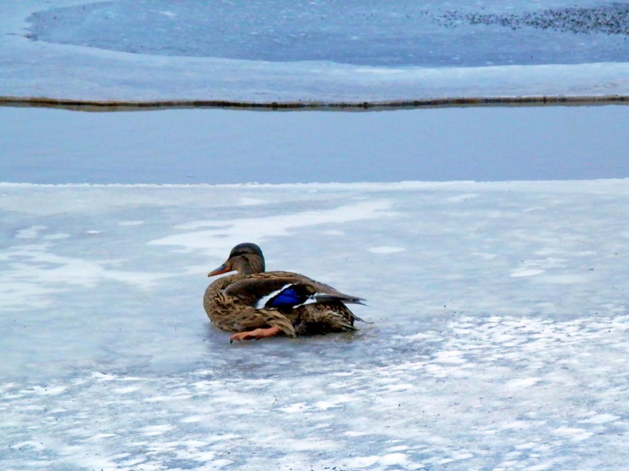 Чертаново Южное: Не дайте уткам вмёрзнуть в лёд! Они живые!