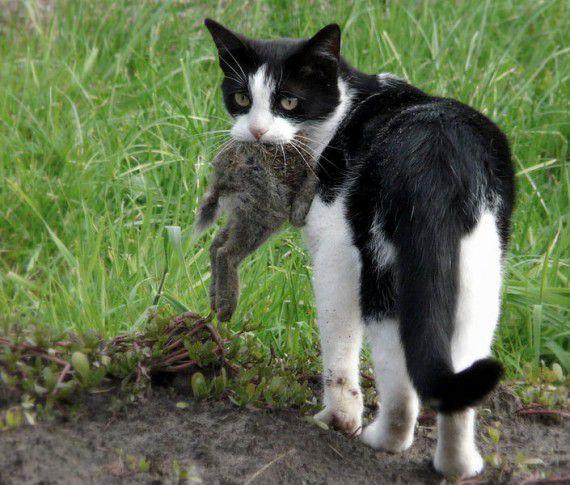 Боевые коты (17 фото) интересное, коты