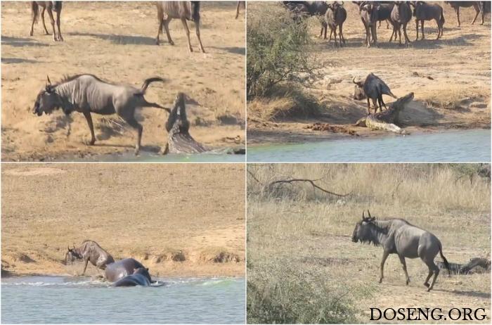 Бегемоты спасли антилопу гну…