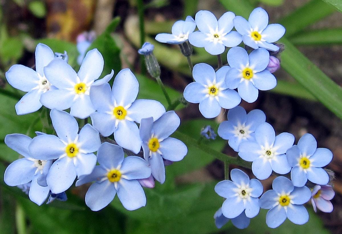 легко фото цветов незабудок пунктом