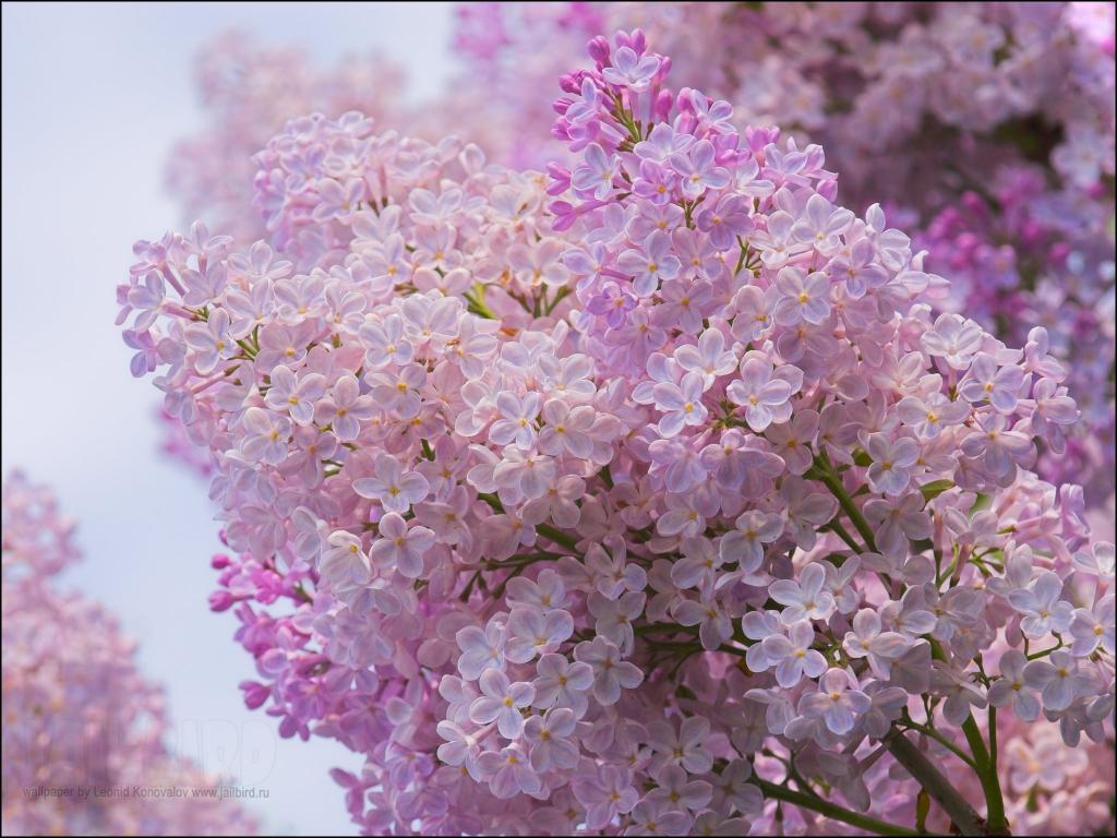 5 важных моментов обильного цветения сирени