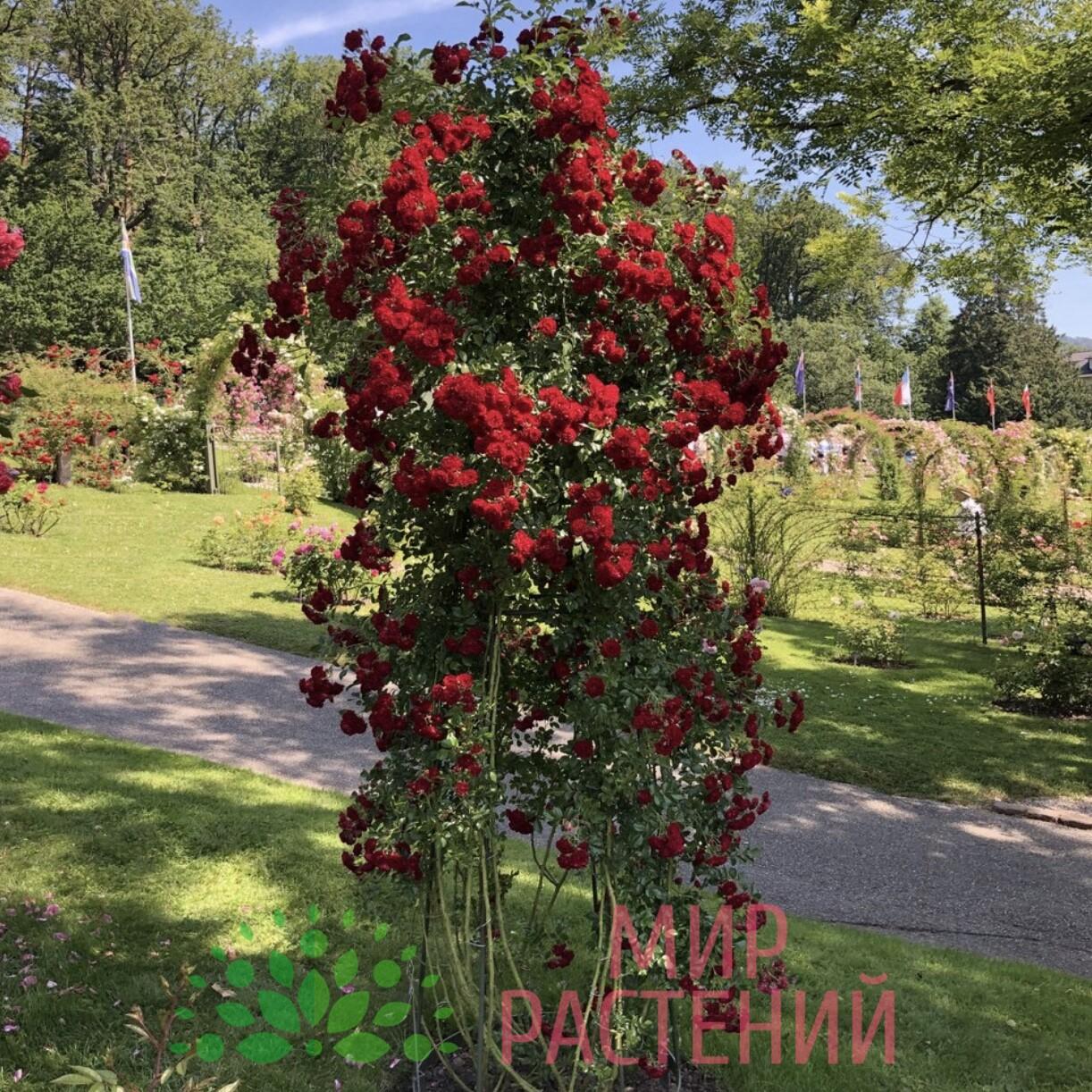 Плетистая роза - лучший уход