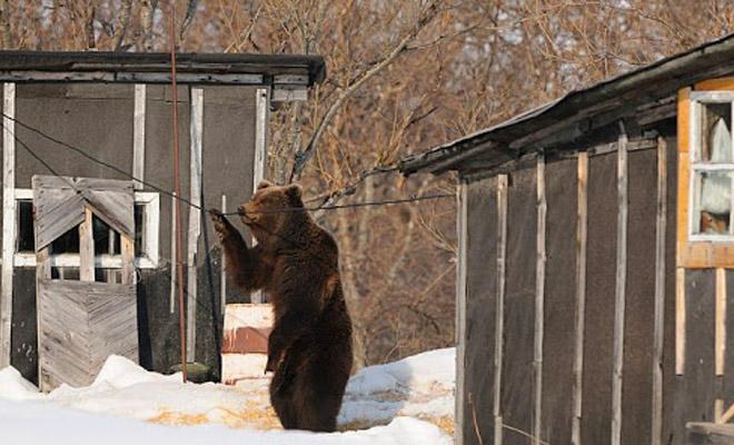 Медведица пришла просить помощи у человека, ее медвежонок запутался в рыболовных сетях в реке Культура