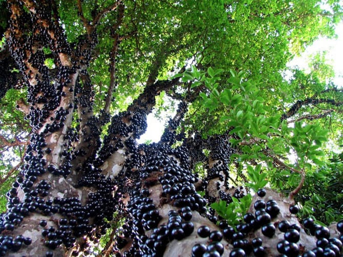 Вечнозеленое дерево, обладающее каулифлорией – формированием плодов непосредственно на стволе и основных ветвях.