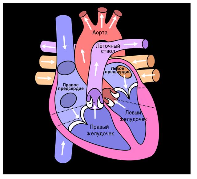 От чего происходит инфаркт — Сердце