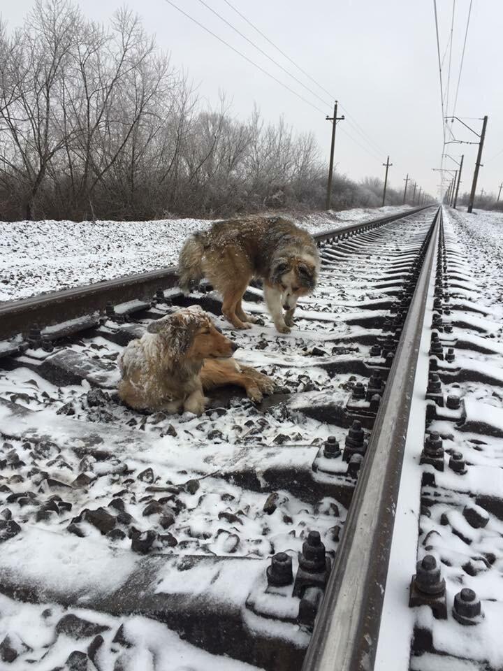 Две собаки на ж/д путях животные, поезд, преданность, собаки