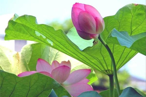 Мифы и легенды о цветках лотоса Цветение, астрахань, лотос, цветок