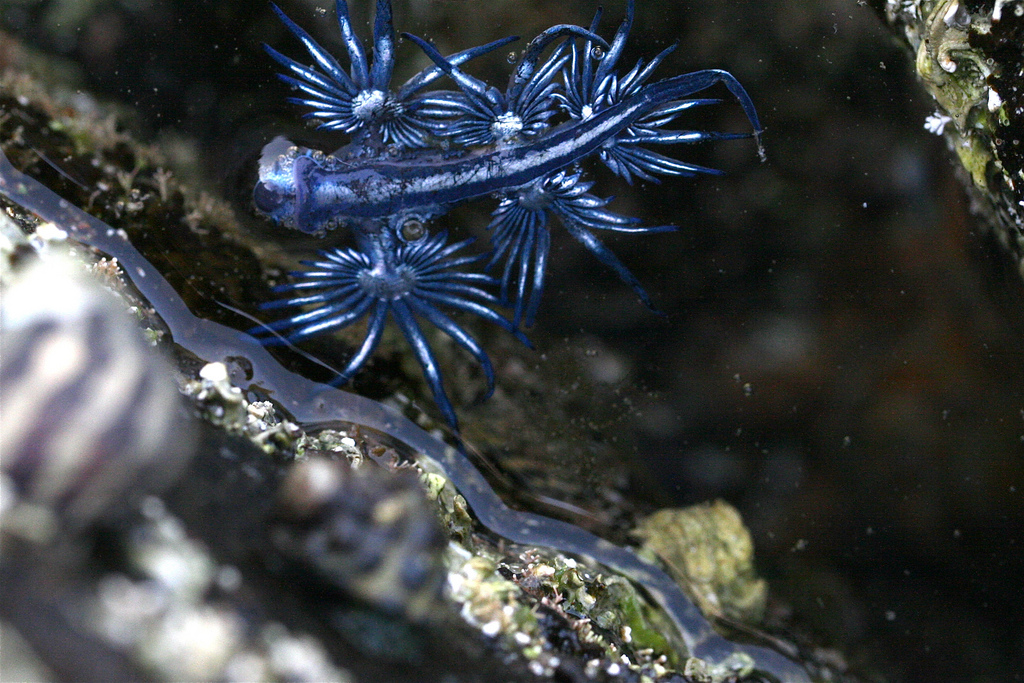 Голубой ангел ангел, Голубой, atlanticus, Glaucus, голожаберных, отряда, моллюсков, поверхностного, организмы, моллюска, большие, длина, использовать, потом, чтобы, физалию, небольших, размеров, ядовитую, сифонофору