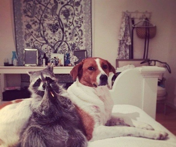 Спасенный енот живет с собаками и считает себя одной из них