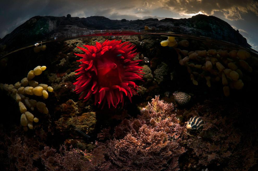 Морская роза, Австралия