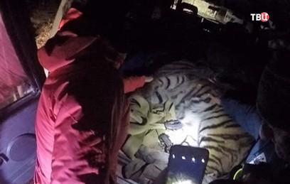Гулявшему по Владивостоку тигру дали имя