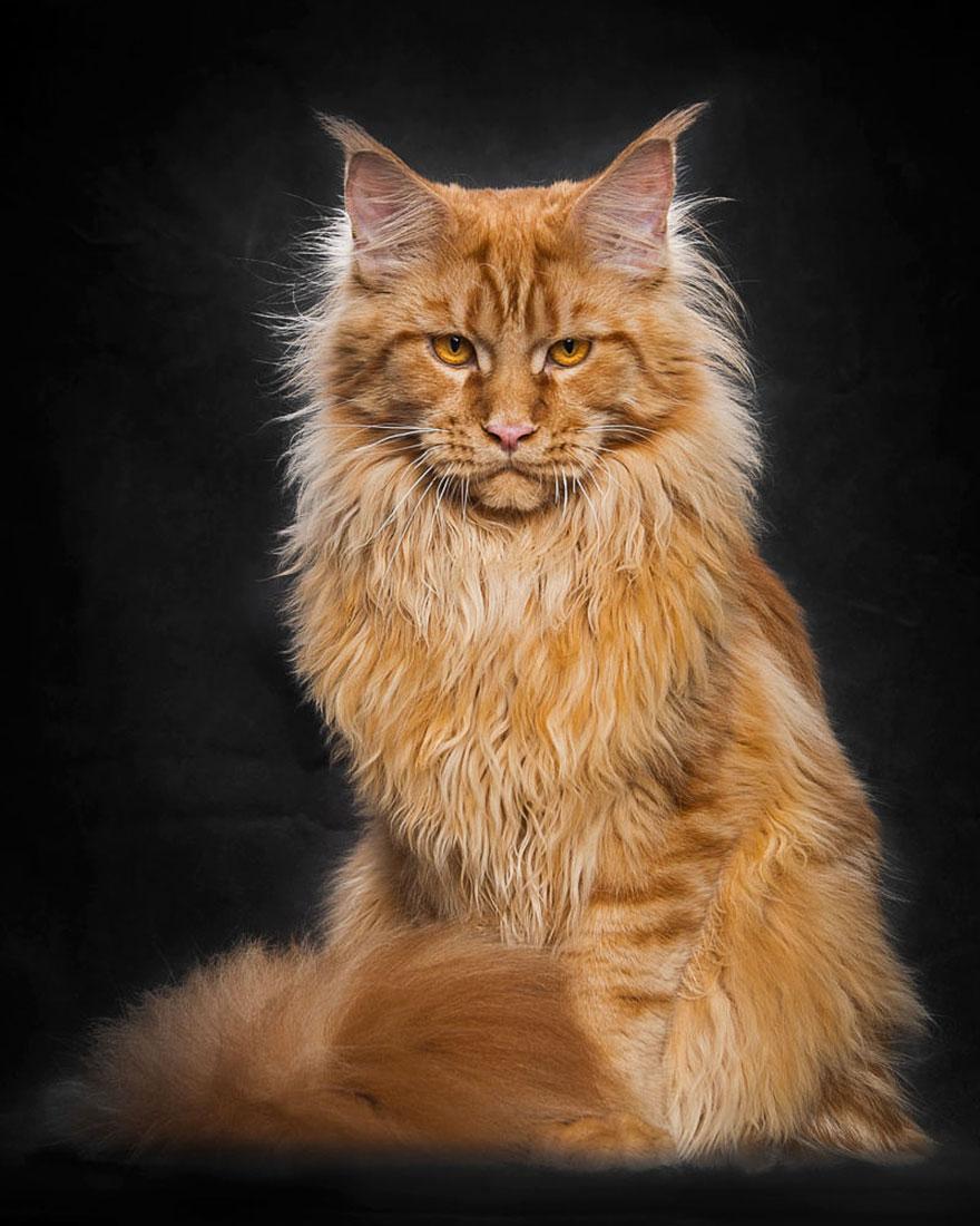картинка мейн кун кошка изображение японском