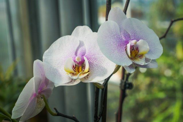 На какое окно поставить орхидею